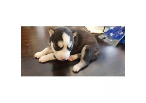 Cute Husky Puppies - 5 Males and 2 Females Available