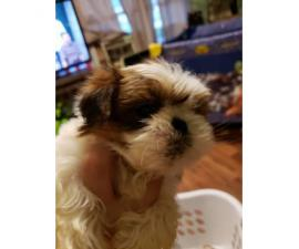 Red Shih Tzu for sale 1 girl and 3 boys left