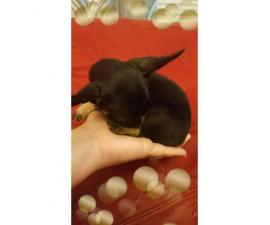 3 Teacup Chihuahuas for Sale