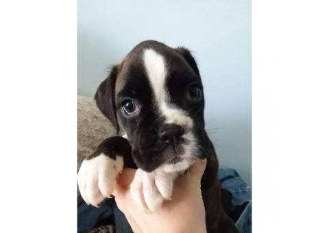 2 European boxer puppies