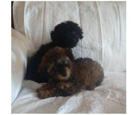 Poodle puppies 2 males left