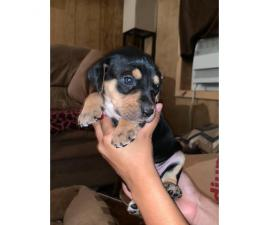 Full blood Catahoula Puppies on sale