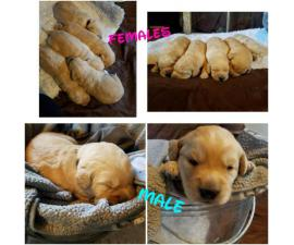 Labradoodle puppies from 2 litters