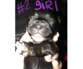 Full-blooded Shihtzu puppies for sale