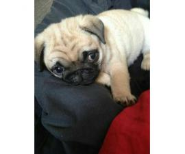 11 weeks old Pug puppies for sale
