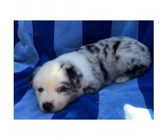 AKC reg Aussies Puppies