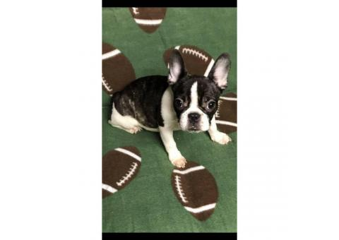 Miniature french bulldogs puppies for adoption