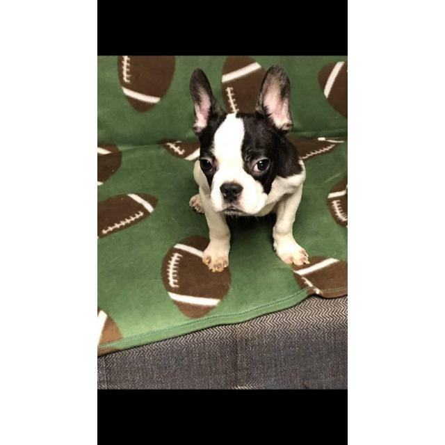 For Sale By Owner Colorado >> Miniature french bulldogs puppies for adoption in Los Angeles, California - Puppies for Sale Near Me