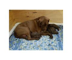 Four Chocolate Lab Puppies Left