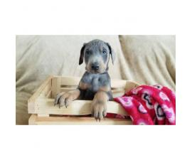 AKC Doberman female puppy rare blue color