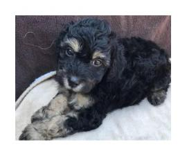 Black Miniature Poodle Pups for Sale