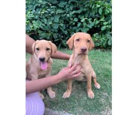 6  labs puppies for sale