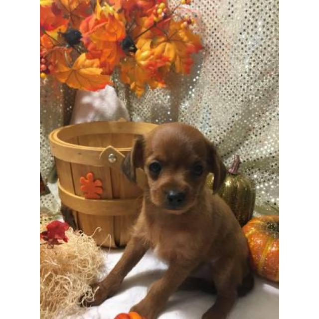 8 Weeks Old Chihuahua Poodle Mix Puppy In Sacramento