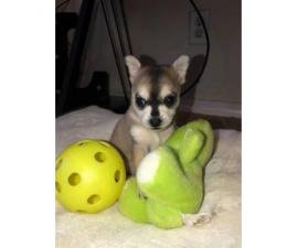 3 baby Pomsky puppies for sale