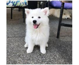 American eskimo puppies 3 available