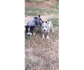 2 males 7 weeks old Blue Heeler Puppies
