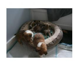 3 Sheltie puppies for sale