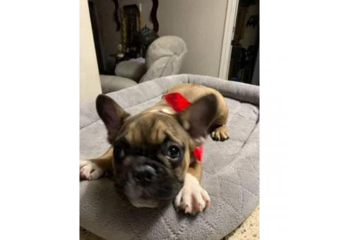 10 Week old French Bull