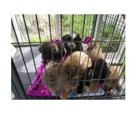 5 Pekingese mixed Puppies