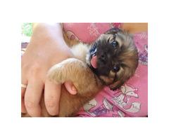5 Pekingese mixed Puppies