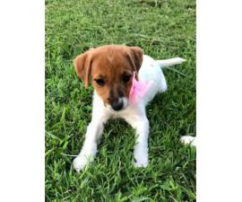 Sweet Jack Russell Terrier Female Puppy