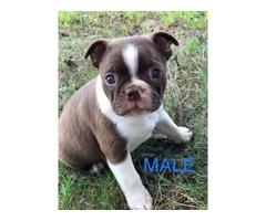 8 weeks old Boston Terrier CKC