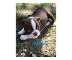 8 Weeks Old Boston Terrier Ckc In Birmingham Alabama Puppies For Sale Near Me