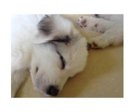 7 weeks old Great Pyrenees looking for new homes