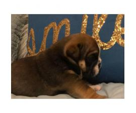 3 males AKC Bulldog puppies available