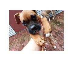 18 week old boxer puppy