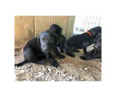 4 AKC black labrodor female puppies
