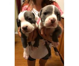3 Blue nose pit puppies left