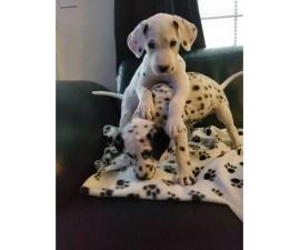 2 dalmatian purebred male puppies