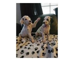2 dalmatian purebred male puppies