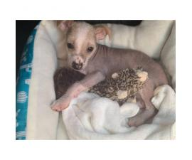 Male Chinese Crested Puppy