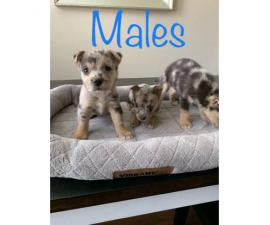 Six weeks old Texas Heeler Puppies