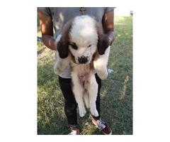 2 Saint Bernard puppies 7 weeks old