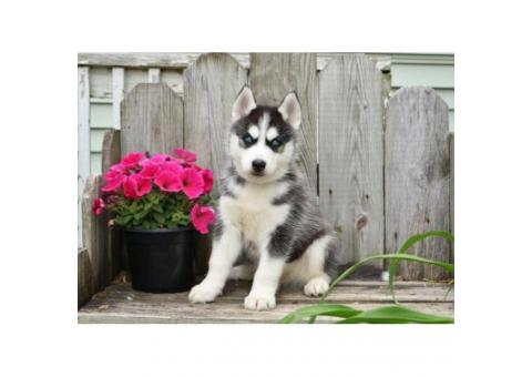 Blue Eyes Siberian Husky Puppies Male and Female