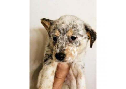 4 Cattle dog pups for sale