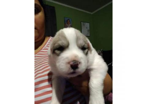3 great Pyrenees puppies