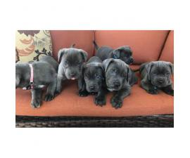 Blue Nose Cane Corso puppies 6 Availables