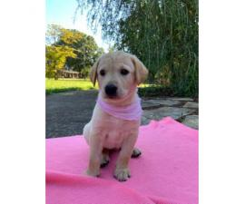 AKC registered labs for sale