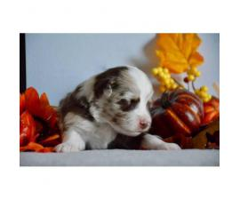 Toy Aussie pups