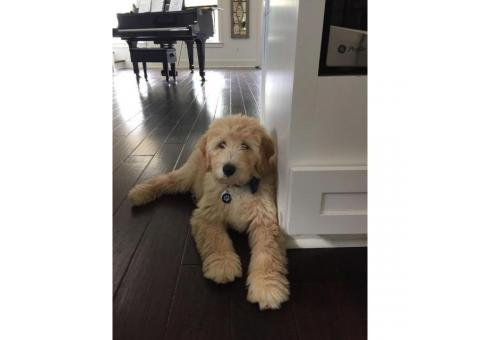 f1b male goldendoodle