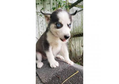 3 lovely Siberian husky puppies