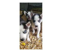 3 lovely Siberian husky puppies