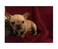 7 Weeks old French Bulldog Pups