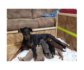 All Females Doberman Pinscher puppies