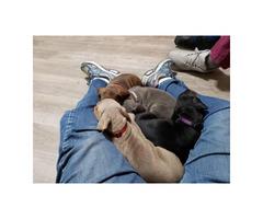 All Females Doberman Pinscher puppies