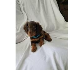 Mini dachshund puppy for sale